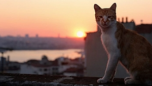 İstanbul'un kedileri dünya turuna çıkıyor