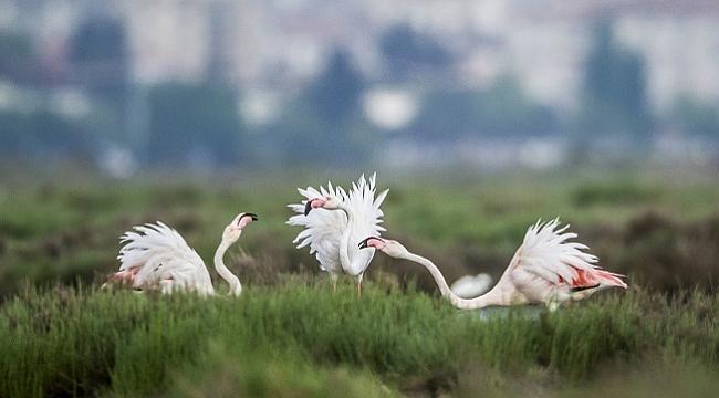 Yüzlerce İzmirli Gediz Deltası'nda flamingoların dansını izledi