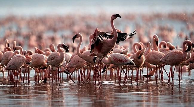 Tanzanya'da on yıllık mücadeleyi flamingolar kazandı