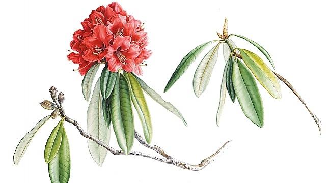 SALT Beyoğlu Kış Bahçesi'nde konuşma: Bir Bitki Ressamının Hikayesi